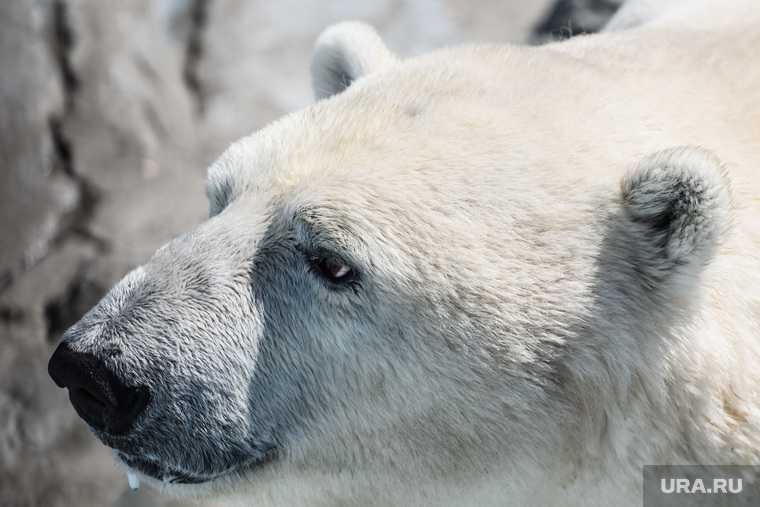 видео белый медведь поселок вахтовиков нападение