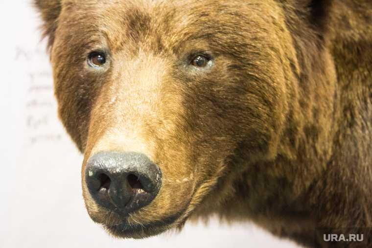 новости хмао медведь в городе в нижневартовске бегает медведь пробежал по улицам города сбил автобус люди убегают в страхе