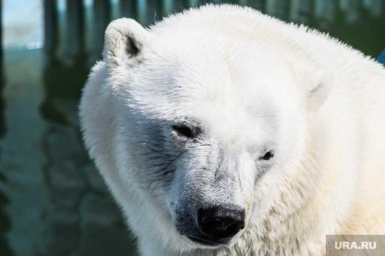 белый медведь Умка Екатеринбург проглотил мячик