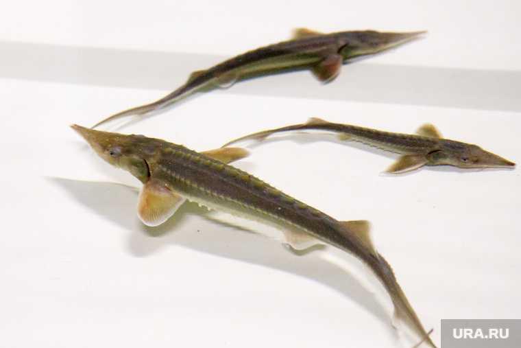 какую рыбу нельзя ловить Обь ЯНАО