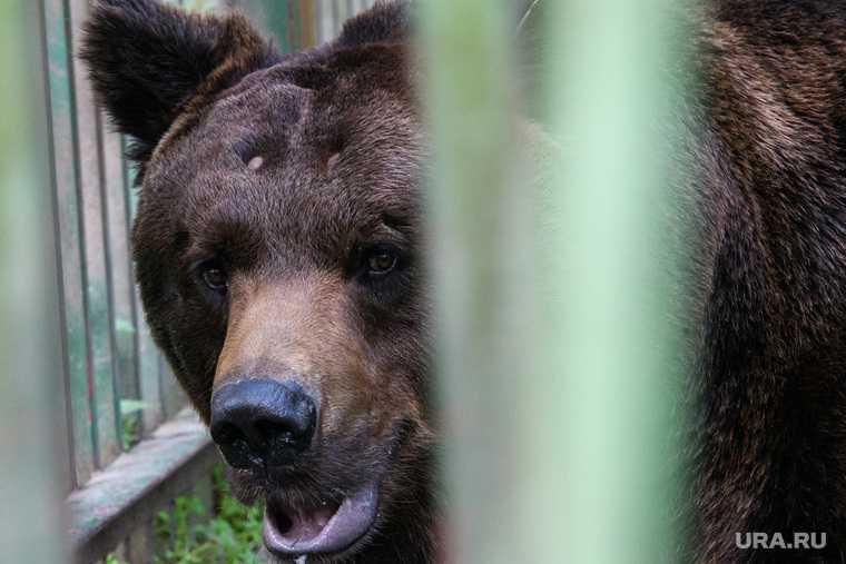 новости хмао медведь зашел на кладбище жителю выдали лицензию на отстрел медведей охотник получил разрешение на убийство трех медведей в горноправдинске